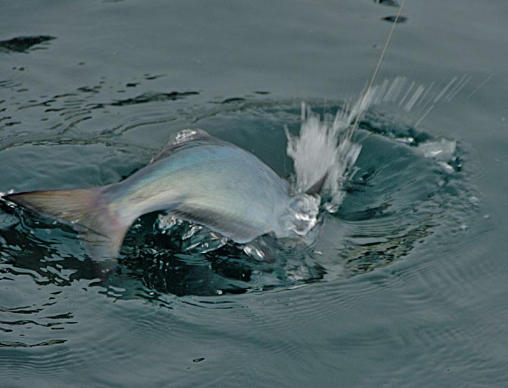 В субботу торжественно поехали ловить гипероглифа. Удивительно сильная рыба, пообрывали кучу крючков. Рыбалка наша продолжалась менее двух часов, поскольку очень быстро переполнились ведра под рыбу.