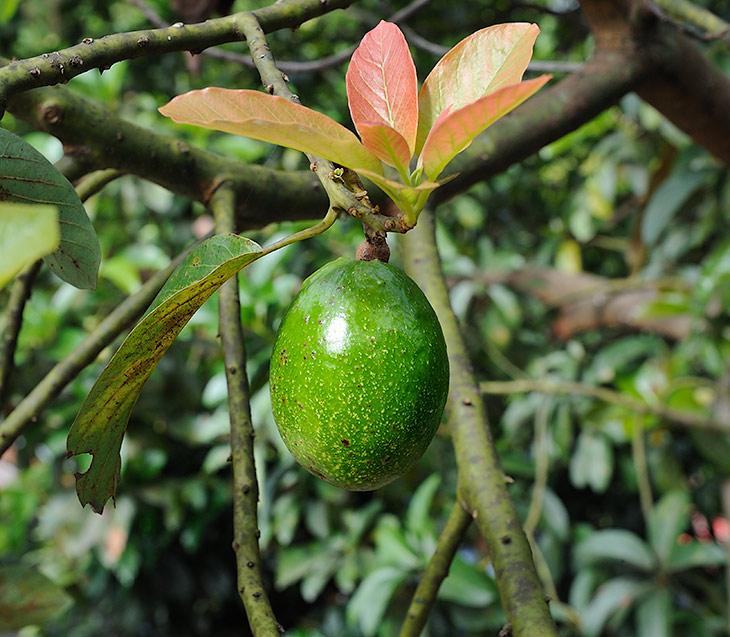 Для начала углубимся в ботанические дебри, раз уж довелось оказаться в недрах обширного сельскохозяйственного района. Перед нами плод               авокадо (Persea americana), имеющий еще и более романтичное название -
