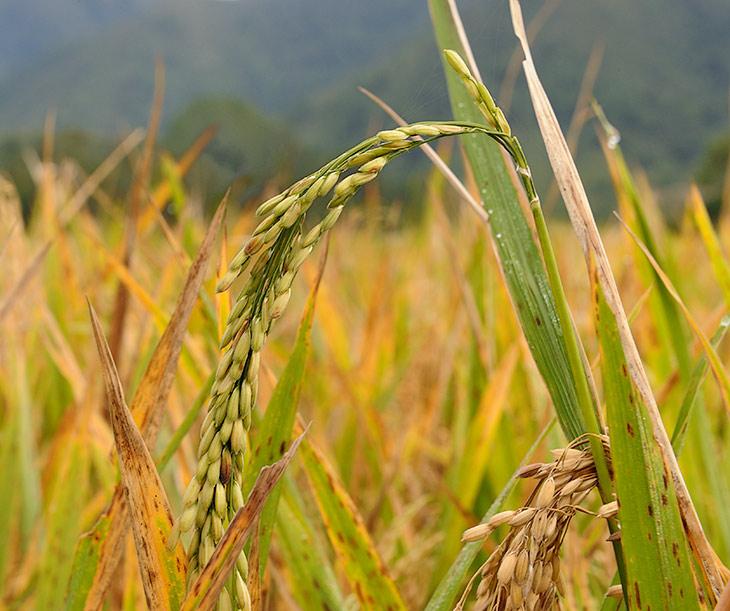 Эти невзрачные зернышки (Oryza Sativa) являются основным продуктом питания большей части человечества. Дефицит и рост               цен на рис в этом году пророчат голод в беднейших странах. Оно и не удивительно, трудно прокормить население, если вместо нормальной               картошки выращивать столь трудоемкую водолюбивую культуру.