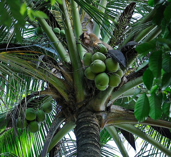 Специальная цепная обезьяна для сбора кокосов с верхушек пальм. Принцип действия прост и понятен - к одному концу веревки               привязывается животное, к противоположному концу прикреплен обезьяний эксплуататор. Зверюга залезает на пальму, отгрызает наиболее               увесистые кокосы и кидает их в ненавистного живодера. После чего, в зависимости от меткости конкретной обезьяны, имеем кучу сорванных               орехов, или ту же кучу, плюс свежий труп неудачливого дрессировщика.