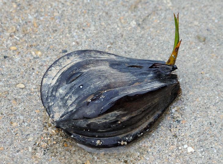 Мангровые семена дрейфуют, гонимые волнами и ветром к новым местам, да там и прорастают, выброшенные прибоем на илистые берега.
